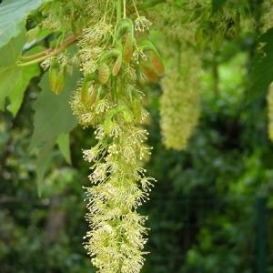 Photographie n°165079 du taxon Acer pseudoplatanus L.