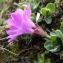 Claude FIGUREAU - Primula integrifolia L. [1753]
