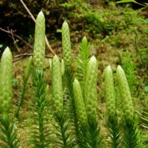 Lycopodium annotinum L. (Lycopode à rameaux annuels)