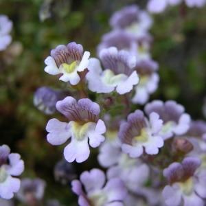 - Chaenorhinum origanifolium (L.) Kostel. [1844]