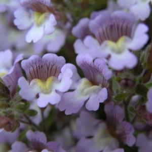 Photographie n°165240 du taxon Chaenorhinum origanifolium (L.) Kostel. [1844]