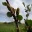 Claude FIGUREAU - Betula nana L. [1753]