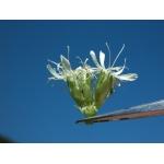 Saponaria bellidifolia Sm. (Saponaire à feuilles de pâquerette)