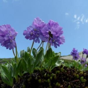 Primula glutinosa Jacq. (Primevère visqueuse)