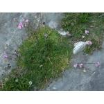 Saponaria caespitosa DC. (Saponaire gazonnante)