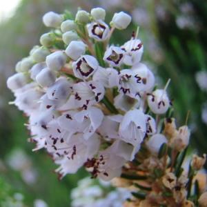Photographie n°165480 du taxon Erica vagans L. [1770]