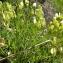 Claude FIGUREAU - Tetragonolobus maritimus (L.) Roth