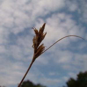 Photographie n°165521 du taxon Carex ligerica J.Gay