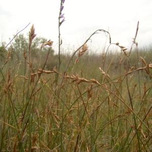 Carex colchica J.Gay (Laiche de la Loire)