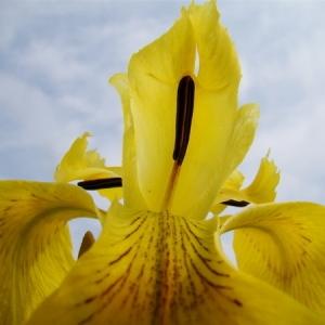 Photographie n°165529 du taxon Iris pseudacorus L. [1753]