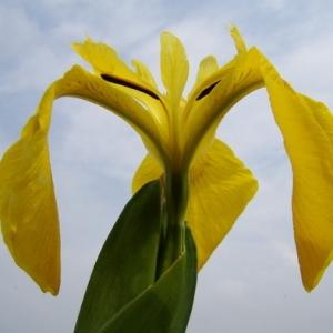 Photographie n°165530 du taxon Iris pseudacorus L. [1753]