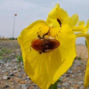 Photographie n°165534 du taxon Iris pseudacorus L. [1753]