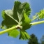 Claude FIGUREAU - Alchemilla vulgaris L.