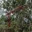 Claude FIGUREAU - Dioscorea communis (L.) Caddick & Wilkin