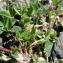 Claude FIGUREAU - Trifolium thalii Vill. [1779]