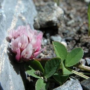- Trifolium thalii Vill. [1779]