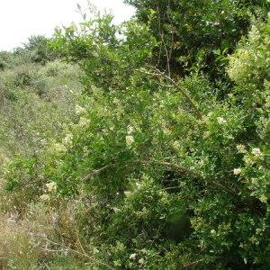 Photographie n°165616 du taxon Ligustrum vulgare L. [1753]