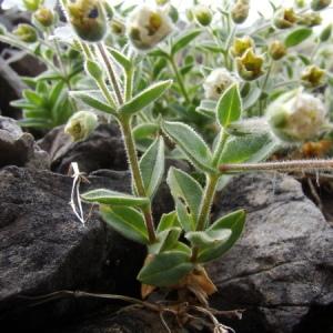 Photographie n°165677 du taxon Cerastium alpinum L. [1753]
