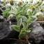 Claude FIGUREAU - Cerastium alpinum L. [1753]