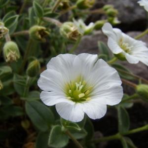 Photographie n°165678 du taxon Cerastium alpinum L. [1753]