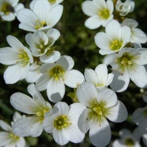 Photographie n°165679 du taxon Saxifraga granulata L.