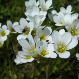 Photographie n°165681 du taxon Saxifraga granulata L.