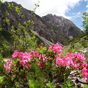 Rhododendron hirsutum L. (Rhododendron cilié)