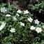 Claude FIGUREAU - Potentilla montana Brot. [1804]