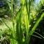 Claude FIGUREAU - Phyteuma spicatum L.