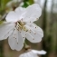 Claude FIGUREAU - Prunus avium (L.) L.