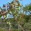 Claude FIGUREAU - Pistacia terebinthus L.