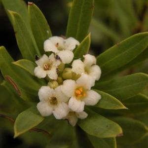 Photographie n°165880 du taxon Daphne gnidium L. [1753]
