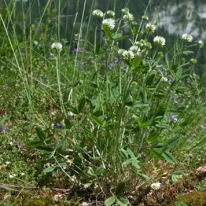 Photographie n°166009 du taxon Trifolium montanum L. [1753]