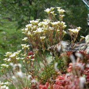 Saxifraga pubescens Pourr. (Saxifrage pubescente)