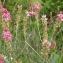 Claude FIGUREAU - Onobrychis viciifolia Scop.