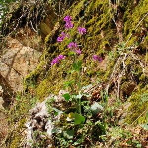 Photographie n°166173 du taxon Lunaria annua L.