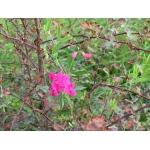 Lathyrus japonicus Willd.