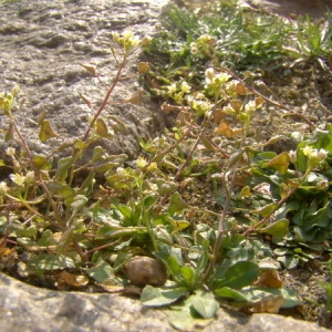 Photographie n°166427 du taxon Capsella bursa-pastoris (L.) Medik.