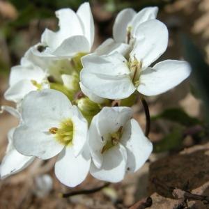 Photographie n°166442 du taxon Arabis alpina L. [1753]