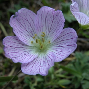 Photographie n°166449 du taxon Geranium cinereum Cav. [1787]