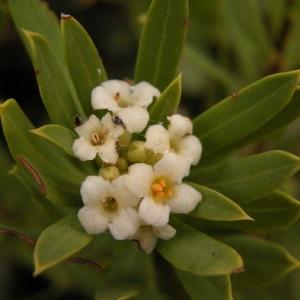 Photographie n°166454 du taxon Daphne gnidium L. [1753]