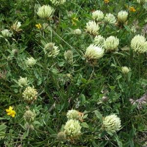 Photographie n°166481 du taxon Trifolium montanum L. [1753]