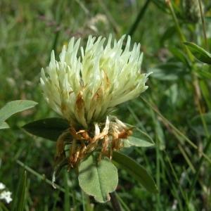 Photographie n°166482 du taxon Trifolium montanum L. [1753]