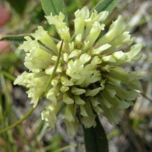 - Trifolium montanum L.