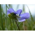 Viola labradorica hort. (Labrador Violet)