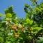 Claude FIGUREAU - Ribes alpinum L.