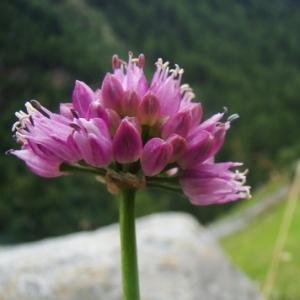 Photographie n°166505 du taxon Allium lusitanicum Lam. [1783]