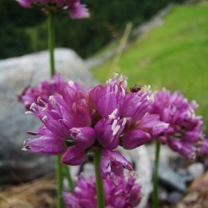 Photographie n°166507 du taxon Allium lusitanicum Lam. [1783]