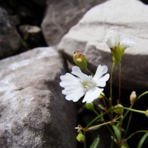 Heliosperma pusillum (Waldst. & Kit.) Rchb. (Silène à quatre dents)