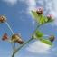 Claude FIGUREAU - Trifolium resupinatum L. [1753]